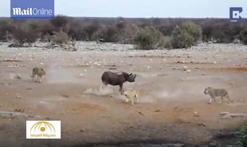 شاهد: أنثى وحيد القرن تتغلب على 3 أسود جائعة
