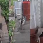 """بالفيديو:كلب يضبط قطة """"سكرانة"""" ويعيدها للمنزل!"""