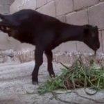 بالفيديو:ماعز تتحدي ولادتها دون قدمين.. وتمشي على أطرافها الأمامية