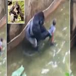 """فيديو: حرّاس حديقة حيوان يقتلون """"غوريلا"""" نادرة لإنقاذ طفل"""
