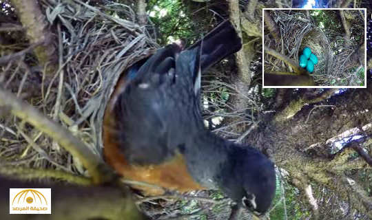 بالفيديو : مصّور قرّر توثيق فقس الأفراخ من هذه البيضات لكنْ ما حصل لا يُصدّق!