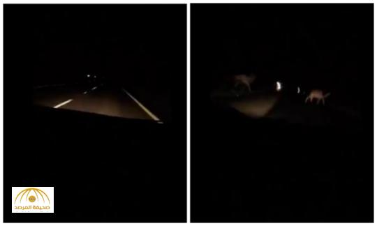 بالفيديو:نجاة ركاب سيارة من حادث محقق إثر مرورهم بجمال سائبة في الليل على طريق بيشة