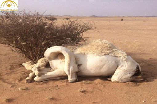 ناقة تموت حزناً بجوار جثة جنينها في الأفلاج ــ صورة
