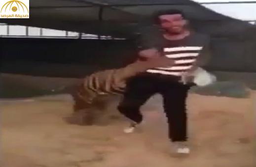 بالفيديو: نمر يهاجم  مواطن وينهش قدمه.. ومغردون:نتيجة طبيعية للهياط