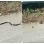 بالفيديو: أنثى جرذ ترغم ثعبان على الهروب بعد إنقاذ صغيرها من فكيه