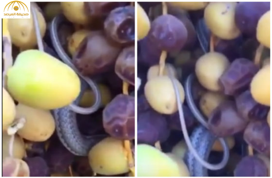 بالفيديو:ثعبان متخفي في عذق تمر يفاجئ مواطناً