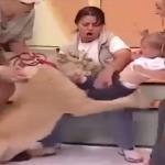 بالفيديو: أسد يهجم على طفلة رضيعة أثناء بث تليفزيوني على الهواء
