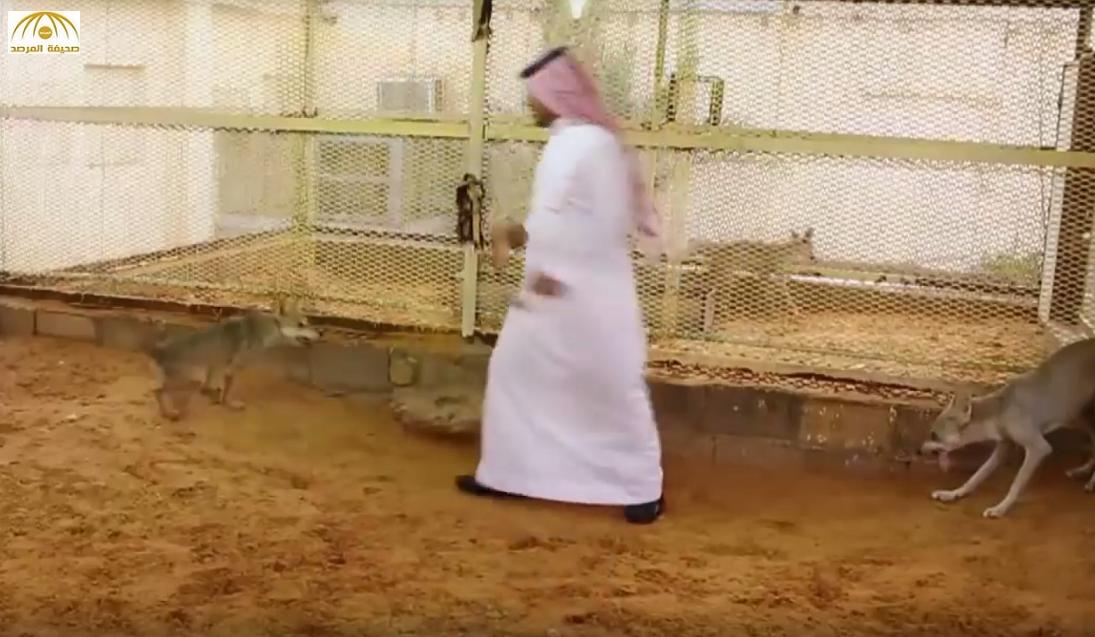 بالفيديو: مواطن يكشف سر تربيته ذئاباً عربية في منزله بعد أن روّضها ويوضح: أصبَحَت تلهو مع أطفالي!