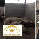 بالفيديو : صاحب مزرعة يقتل كلباً مسعوراً فتك بـ 70 رأساً من أغنامه بالرياض