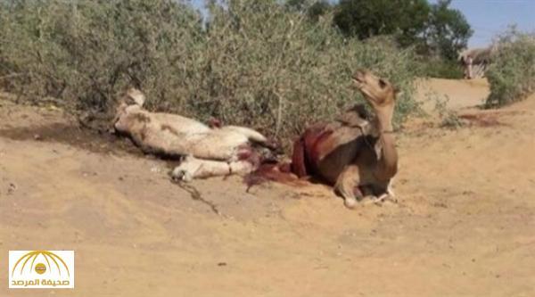 اليمن : الانقلابيون يفخخون قتلاهم ويقتلون الحيوانات