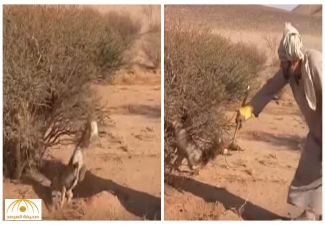 بالفيديو:شاهد رجل يساعد ثعلباً علق في إحدى الأشجار