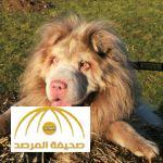 شاهد بالصور : كلب من نوع نادر يشبه الأسد يلفت الأنظار في الصين