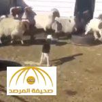 بالفيديو : شاهد .. خروف نجدي صغير يثير الرعب بين الأغنام بشكل عجيب