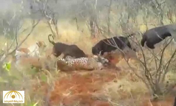 رجل أجهز عليه بضربة فأس .. شاهد : فيديو مروع لكلاب مدربة تفترس نمراً