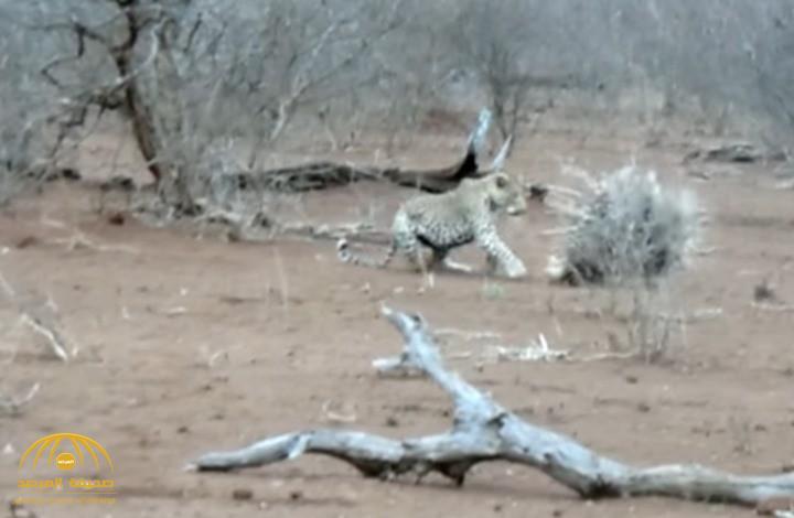 بالفيديو: لحظة انقضاض نمر على نيص..شاهد النتيجة!