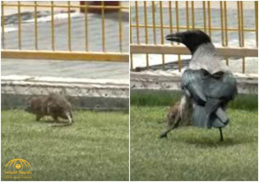 """""""شاهد"""" معركة البقاء بين """"فأر"""" و""""غراب"""" داخل ملعب كرة قدم بانجلترا.. هكذا تصرف الجرذ حين ضاقت به السبل ! –فيديو"""