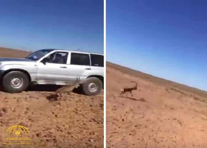 شاهد: عملية مطاردة غزال في صحراء.. كيف انتهى المشهد؟