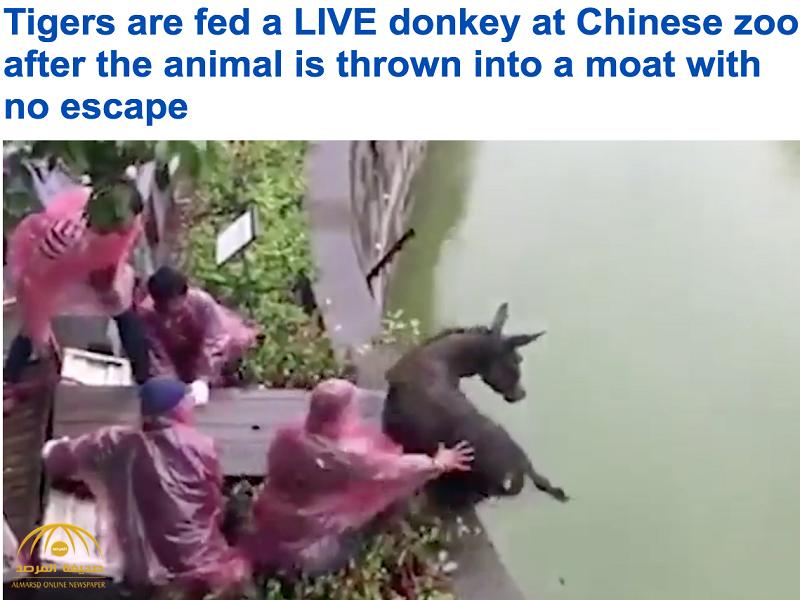 بالفيديو:عمال حديقة بالصين يلقون بحمار حي في منطقة النمور ليصارع الموت لنصف ساعة كاملة