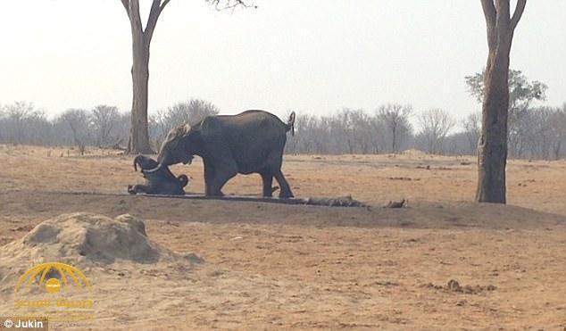 فيديو مؤثر: شاهد كيف استطاعت أنثى الفيل من إنقاذ طفلها الصغير قبل أن تلتهمه الأسود