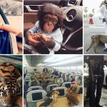 شاهد بالصور : شبان خليجيون يتباهون بأسلحتهم المطلية بالذهب والحيوانات المفترسة على انستغرام