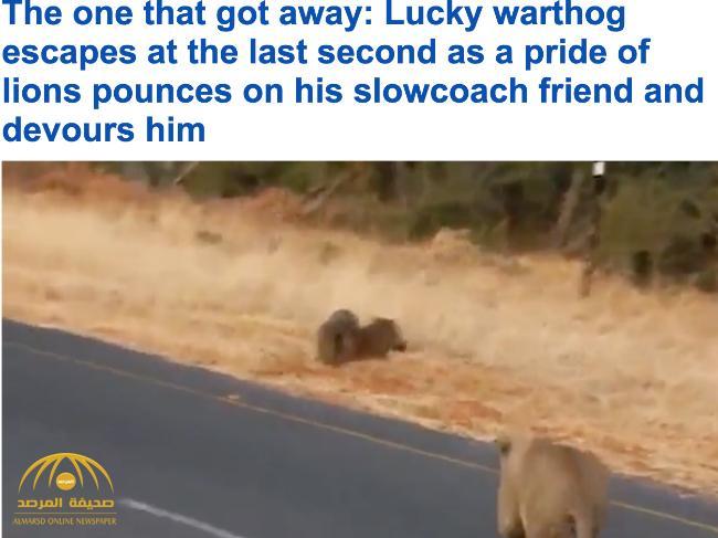 """شاهد .. أسد يباغت """"خنزير"""" قبل هروبه في اللحظة الأخيرة"""