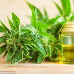 """بالصور: زيت مستخلص من نبات """"القنب"""" يثبت فعاليته في الشفاء من السرطان وآلام الظهر والصرع"""
