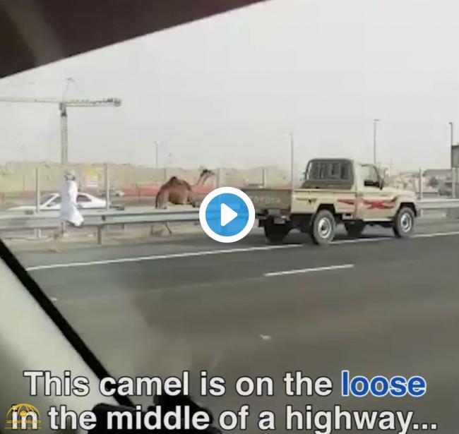 فيديو : شاهد .. إماراتي يركض وراء جمله الهارب وسط طريق مزدحم بالسيارات في أبو ظبي !