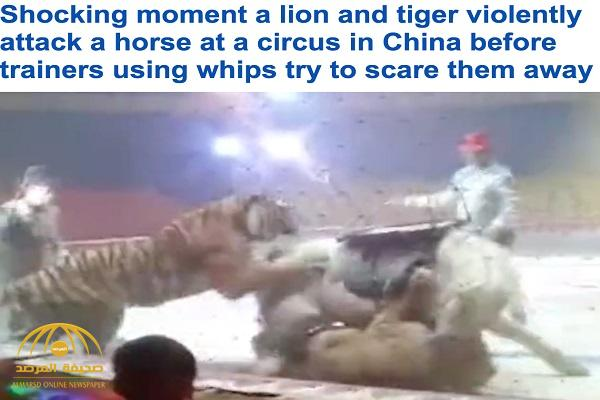 """شاهد .. أسد ونمر يفترسان حصان داخل حلبة """"سيرك"""" في الصين"""