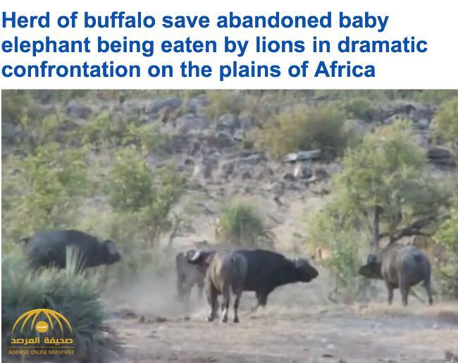 شاهد .. قطيع من الجاموس يهاجم مجموعة أسود لإنقاذ فيل صغير بجنوب أفريقيا