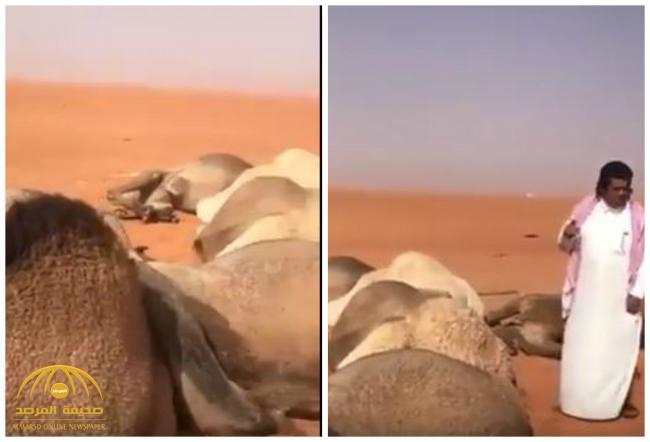 بالفيديو .. مواطن يوثق نفوق 11 رأساً من الإبل تقدّر قيمتها بأكثر من مليوني ريال .. ويكشف السبب!