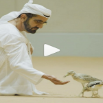 شاهد: محمد بن راشد يشارك مع متابعيه فيديو إطعامه طيور الحبارى!