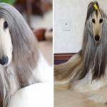 """شاهد بالصور: """"أجمل كلب في العالم"""".. صاحبة يصرف عليه هذا المبلغ لأغراض تجميله!"""