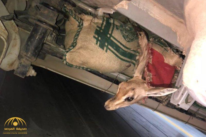 شاهد بالصور.. ضبط مواطن حاول تهريب غزلان نادرة من جزيرة فرسان.. هكذا أخفاها داخل السيارة
