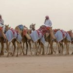 توافد أكثر من 10 آلاف مطية من الهجن إلى ميدان محافظة الطائف