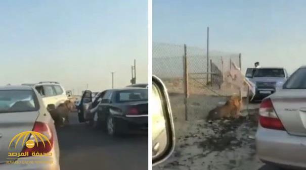 """شاهد بالفيديو : أسد """"مفلوت"""" بأحد شوارع الكويت!"""