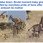 بالصور : زرافة تستميت في الدفاع عن صغيرها في كينيا ضد مجموعة من الأسود .. شاهد النهاية!