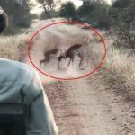 بالفيديو .. شاهد تصرف مفاجىء من نمر تجاه غزالين يتشاجران !