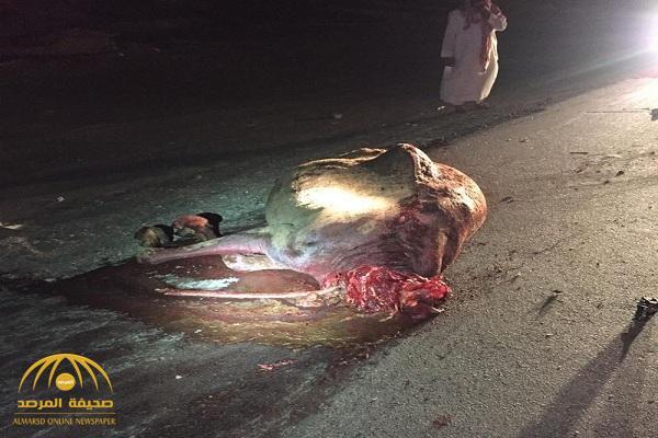 """بالصور :  """"جمل سائب """" يتسبب بمجزرة """"بشرية"""" على طريق الليث ..  وهذا عدد الوفيات والمصابين!"""