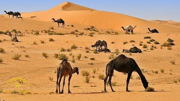 منع دخول الرعاة ومواشيهم من دول الخليج إلى المملكة