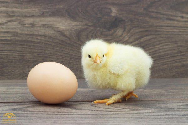 العلماء يجيبون أخيرا  على سؤال حير الناس منذ آلاف السنين .. من جاء أولا .. البيضة أم الدجاجة؟