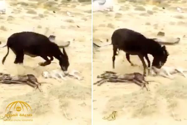 شاهد بالفيديو: كيف انتقم حمار من ذئب قتل ابنه؟