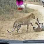 """معركة حتى الموت .. شاهد : نمر يحطم جمجمة """"أخيه الأصغر"""""""