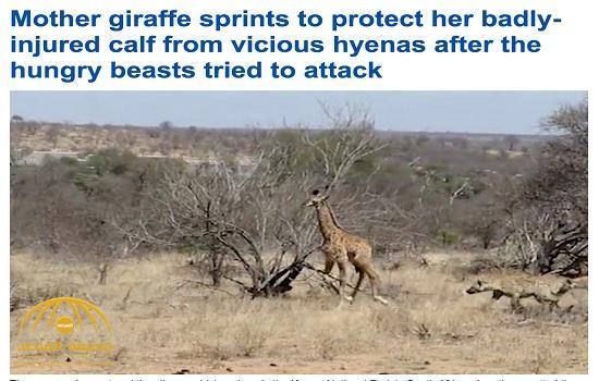 """شاهد: زرافة تنقذ صغيرها """"الأعرج"""" من ضبع جائع في جنوب إفريقيا"""