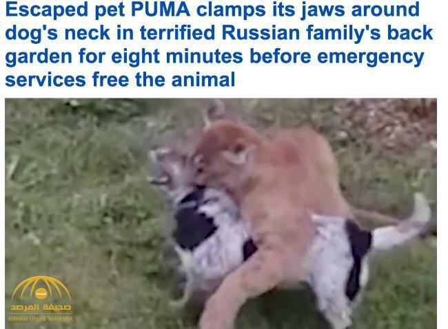 """بالفيديو .. """"قط بري"""" يطبق على رقبة كلب بإحدى حدائق الحيوان في روسيا !"""