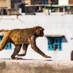 هندي قتلته القردة.. والطريقة لا تخطر على البال