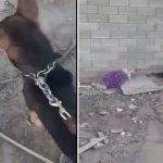 شاهد : شخص يعذب قططاً بكلاب شرسة في المدينة .. والبيئة تعلن القبض عليه