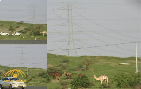 شاهد..الصحراء القاحلة تتحول إلى بساط أخضر بعد الأمطار الأخيرة في الليث