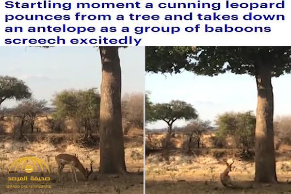 """شاهد .. نمر ينفذ خطة لا تخطر على البال للإمساك بـ """"ظبي"""" !"""