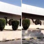 شاهد .. جمل أسود يتجول داخل مستشفى الملك خالد بنجران والصحة تصدر بيانا صحفيا!