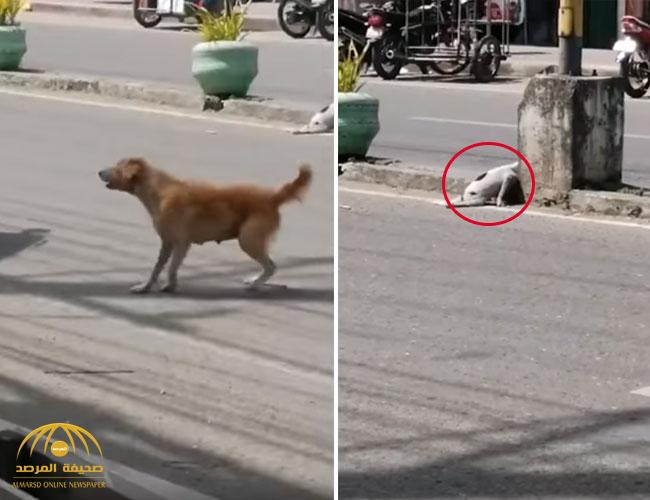 """شاهد .. ردة فعل  كلبة """"مكلومة"""" تستجدي المارة لإنقاذ جروها المصاب!"""
